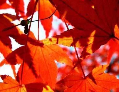 北京香山红叶什么时候红