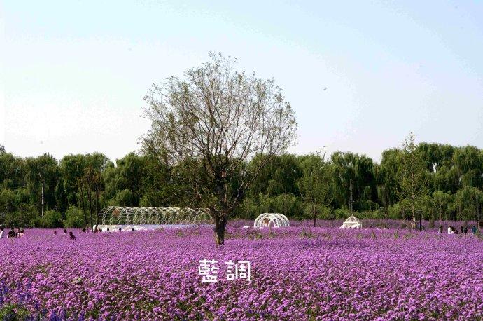 北京蓝调薰衣草庄园