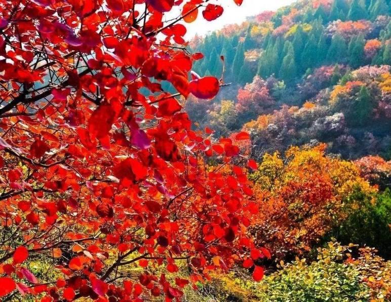 北京香山红叶什么时候有