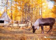 「十一•阿尔山」优化版 | 童话世界阿尔山、呼伦贝尔、满洲里、中国唯一驯鹿部落,满足你对秋天的一切幻想
